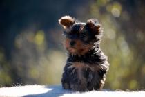 Cachorros de Yorkshire Terrier